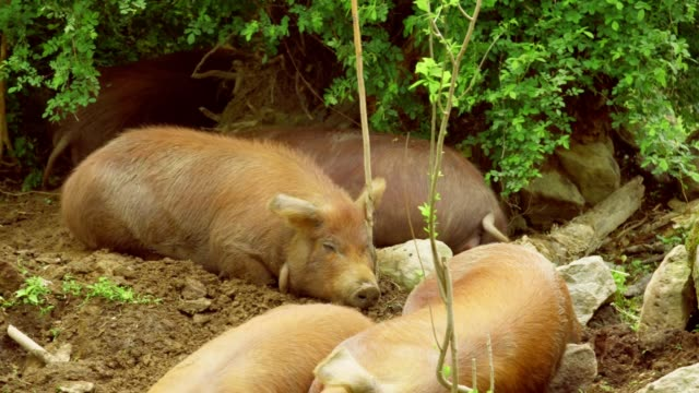 red wattle pigs taking nap video