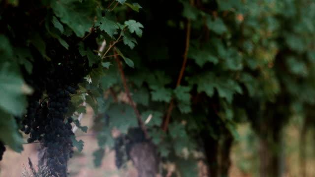 rotweintrauben in einem weinberg - winzer sitzend trauben stock-videos und b-roll-filmmaterial