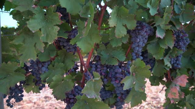 vídeos de stock, filmes e b-roll de uvas de vinho vermelho pronto para colheita 4k uhd - região thompson okanagan colúmbia britânica