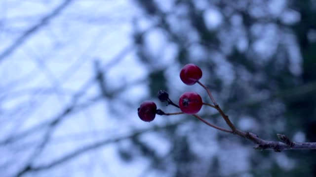 red winter fruits in wind video