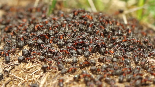 Red wood ant (Formica rufa) moving on the anthill. Magic scenery of underground wildlife nature video