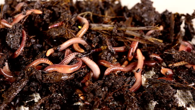 Red worms. video