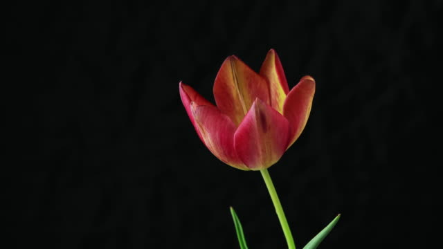 Red yellow tulip flower blooming timelapse. Timelapse of yellow red tulip flower blooming on black background fully opening petals. video