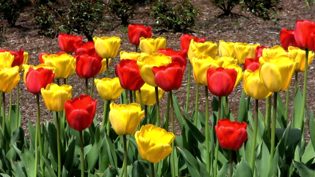 Red & Yellow Tulips In Spring (HD 1080p30) video