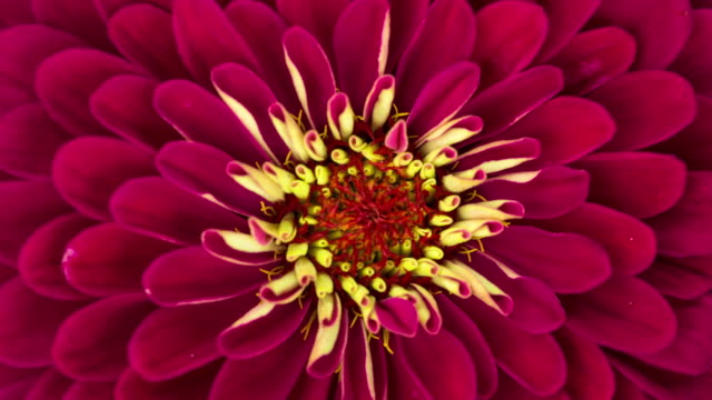 Red Zinnia Flower Blooming