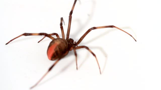 Redback Spider video