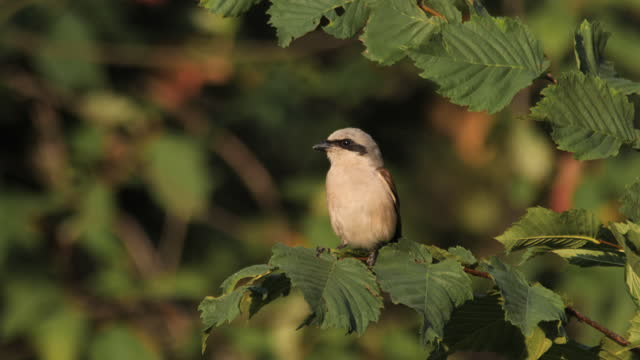 Red-backed shrike (Lanius collurio) male, Russia
