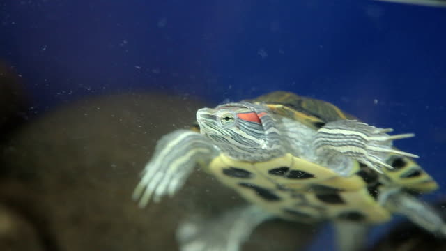 Red-bellied turtle in an aquarium Red-bellied turtle in an aquarium. tortoise shell stock videos & royalty-free footage
