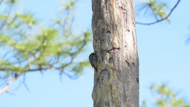 Red-cockaded woodpecker on nest tree, feeding chicks though opening