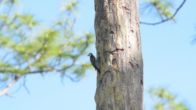 Red-cockaded woodpecker on nest tree, feeding grub to chicks though opening