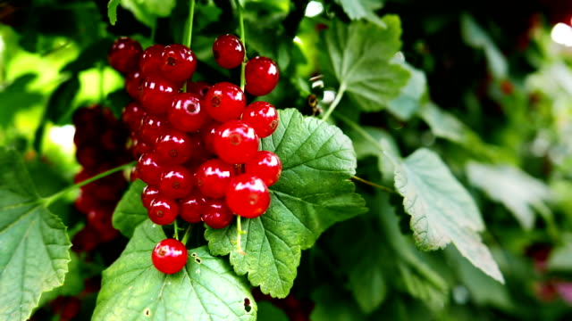 Redcurrant bush, natural ecological cultivation. video