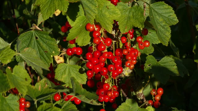 redcurrants, ribes rubrum, normandy, real time 4k - ribes rosso video stock e b–roll