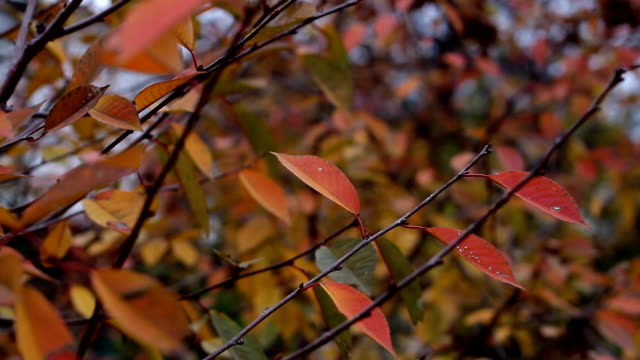 Reddened autumn leaves sway on the branch from the wind video