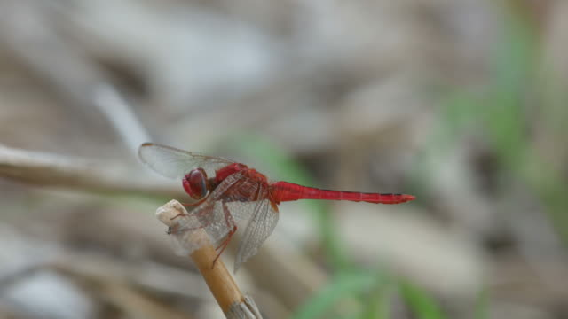 reddish dragonfly resting on the wood tip video