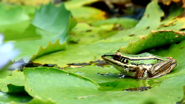 Red-eared Frog, Green Paddy Red-eared Frog, Green Paddy jumping form the pool frog stock videos & royalty-free footage