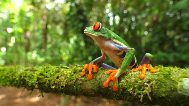 vídeos de stock e filmes b-roll de red-eyed tree frog in its natural habitat in the caribbean rainforest - reserva natural