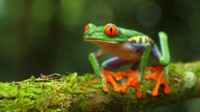 Video Red-eyed tree frog in its natural habitat in the Caribbean rainforest