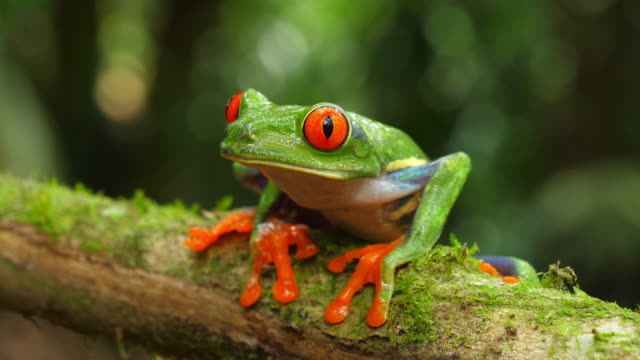 Red-eyed tree frog in its natural habitat in the Caribbean rainforest Wildlife endangered species. Awesome colorful frogs collection. Agalychnis callidryas, known as the red-eyed treefrog, is an arboreal hylid native to Neotropical rainforests. Red-eyed treefrogs inhabit areas near rivers and ponds in rainforests and humid lowlands on the Atlantic slopes. frog stock videos & royalty-free footage
