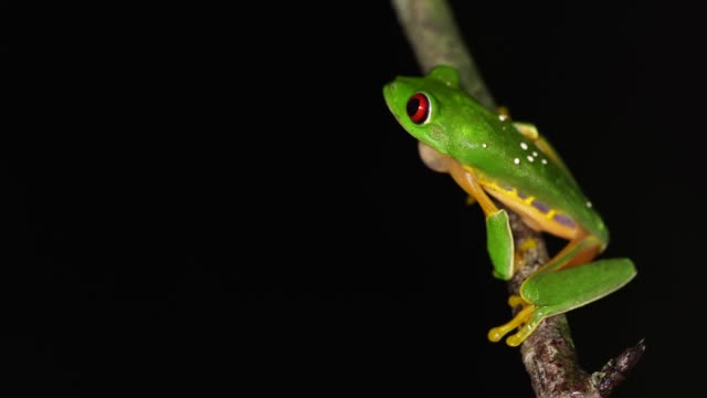 Red-Eyed Tree Frog mating