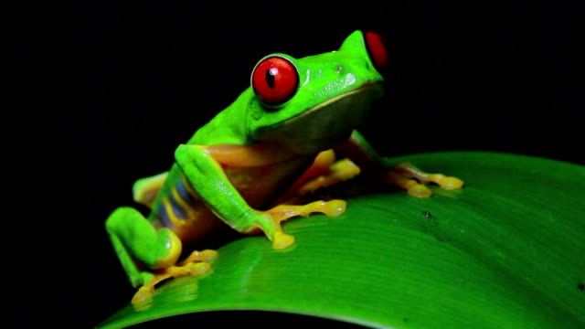 red-eyed tree frog video