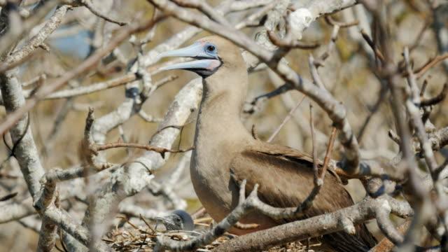vídeos de stock, filmes e b-roll de atobá-de-chapéu-vermelho e filhote no ninho na ilha genovesa nas galápagos - ilha genovesa