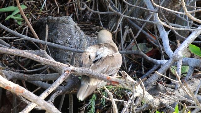 Red-footed booby (Sula sula) making nest, Genovesa island, Galapagos National Park, Ecuador