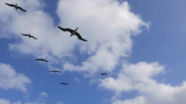 vídeos de stock, filmes e b-roll de atobá-vermelho, aves marinhas, méxico - atobá