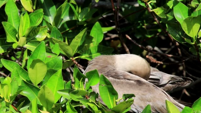 Red-footed booby (Sula sula) sitting in a tree on Genovesa island, Galapagos National Park, Ecuador