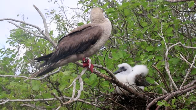 Red-footed booby with a chick sitting in a tree, Genovesa island, Galapagos National Park, Ecuador