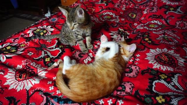 ソファの上の赤髪子猫嘘 - 2匹点の映像素材/bロール
