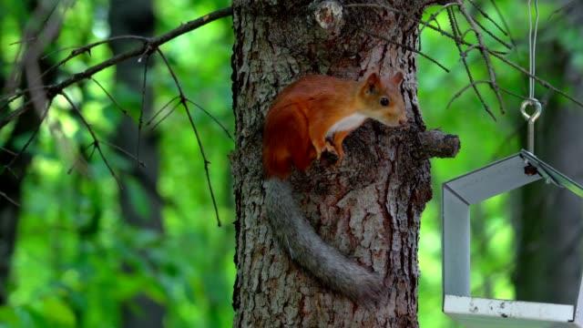 gri bir kuyruk ile kızıl saçlı bir sincap ağaçta oturuyor ve ayçiçeği tohumu yiyor. sincap tohum besleyici alır. besleme yuvasına insanlar hayvanlara yiyecek parkta tohum koymak. şehir parkı yaz günü. - kemirgen stok videoları ve detay görüntü çekimi