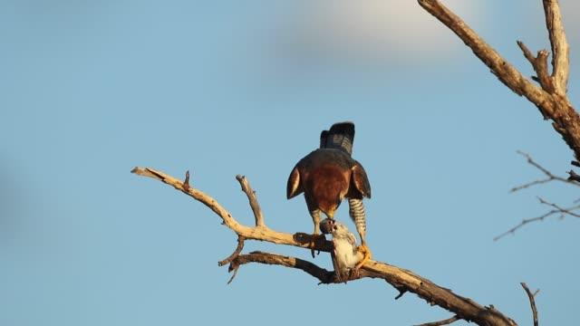 red-necked falcon eating bird prey - uccello rapace video stock e b–roll
