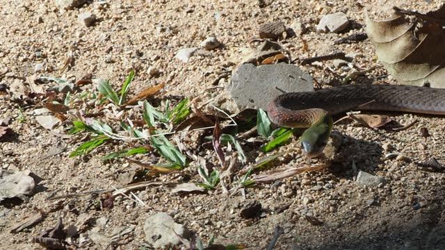 Red-necked Keelback (Rhabdophis subminiatus)
