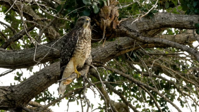 Red-Shouldered Hawk Screeches in Tree, Close Red-Shouldered Hawk stands on one leg screeching in tree with audio bird of prey stock videos & royalty-free footage