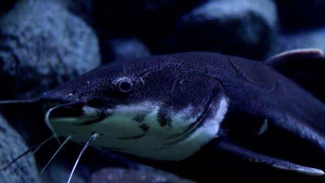 kızılkuyruk yayın balığı - i̇htiyoloji stok videoları ve detay görüntü çekimi