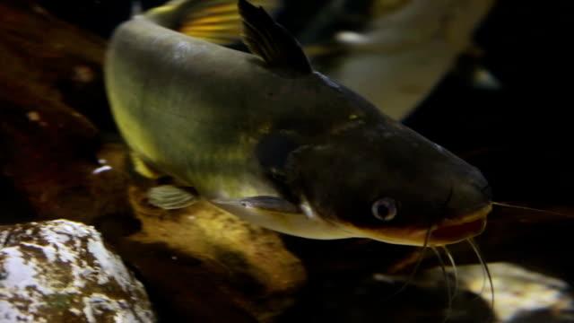pesce gatto del redtail - siluriformes video stock e b–roll