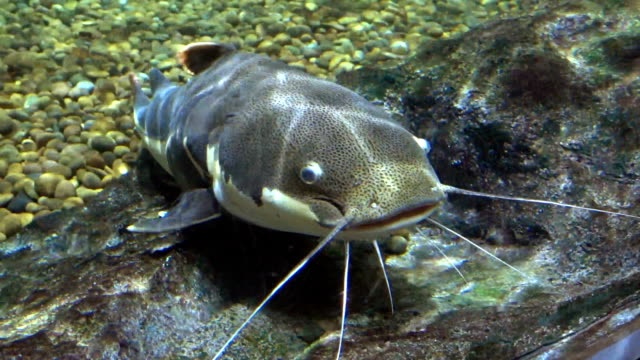 redtail catfish wild life animal - siluriformes video stock e b–roll