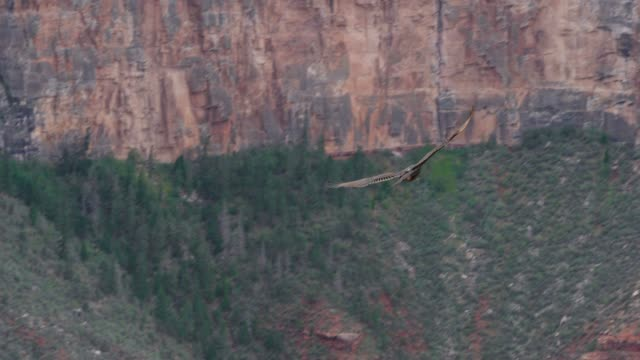 red-tailed hawk at grand canyon south rim, arizona, usa - aquila video stock e b–roll