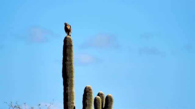 Red-tailed Hawk, Tucson, Arizona