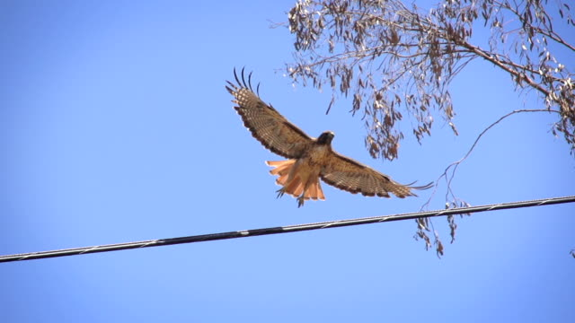 Red-tailed Hawk Red-tailed Hawk taking off in slow motion. falcon bird stock videos & royalty-free footage