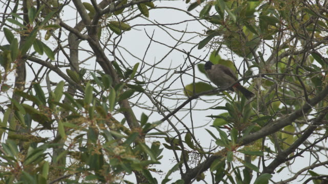 Red-whiskered bulbul clean its wings video