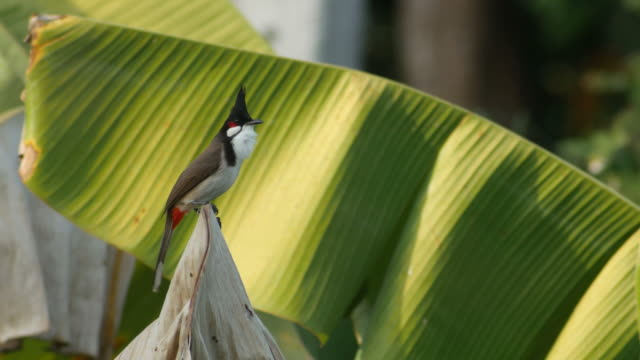 red-whiskered bulbul flying from the banana leaf video