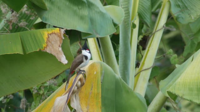 red-whiskered bulbul resting on the banana leaf video
