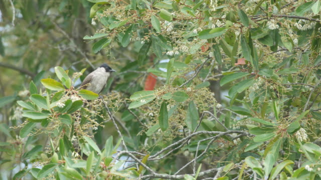 Red-whiskered bulbul resting on the canopy video