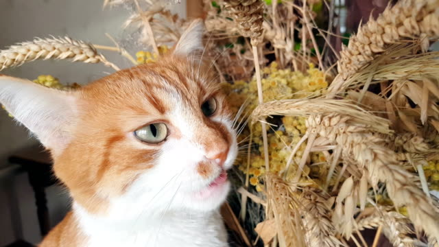 Red-white cat eats the dry rye ears video