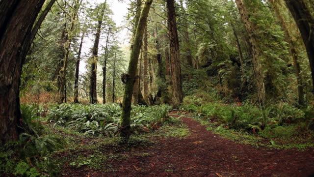 redwood forest path. rain video