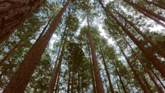vidéos et rushes de forêt de séquoias - vue en contre plongée verticale