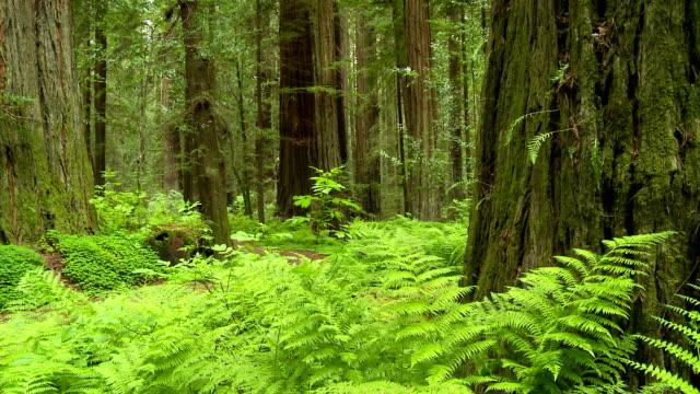 redwood forest - staatspark stock-videos und b-roll-filmmaterial