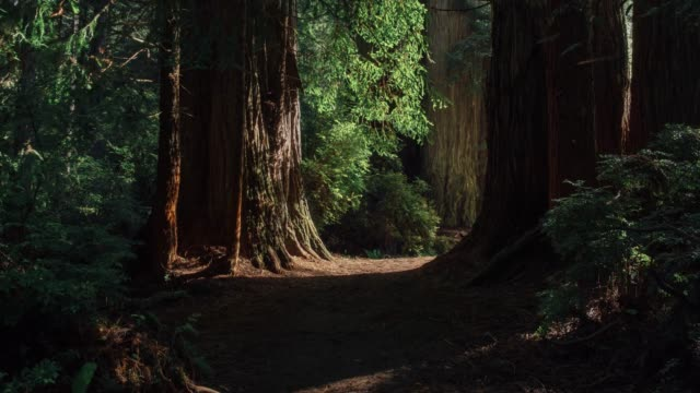 Redwoods 01 In the heart of the Redwoods in California. footpath stock videos & royalty-free footage