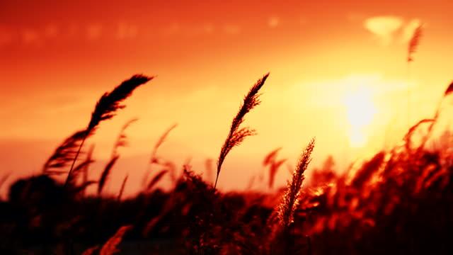 schilf gegen orangen sonnenuntergang himmel - schilf stock-videos und b-roll-filmmaterial